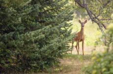 Охота на косулю и её особенности