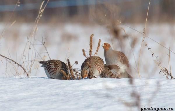 Охота-на-куропатку-и-её-особенности-2