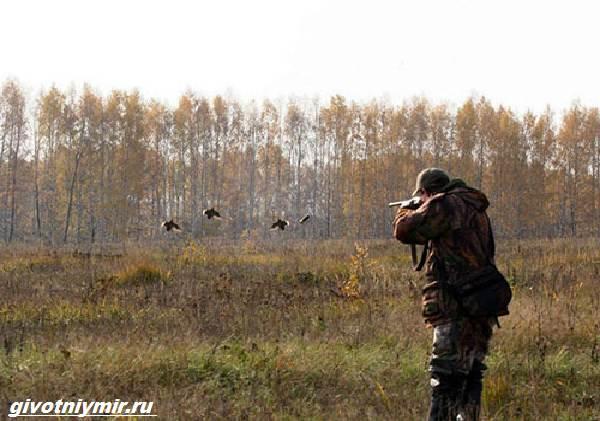 Охота-на-тетерева-и-её-особенности-4