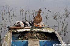 Охота на утку разными способами