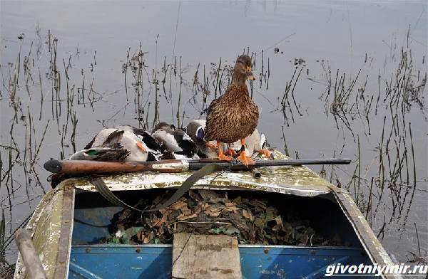 Охота-на-утку-разными-способами-6