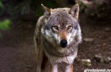 Охота на волка разными способами