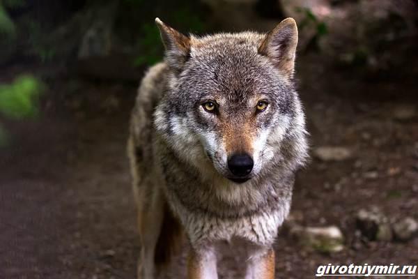 Охота-на-волка-разными-способами-1