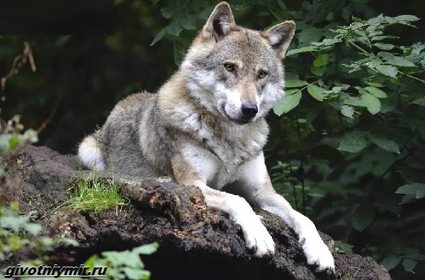 Охота-на-волка-разными-способами-2