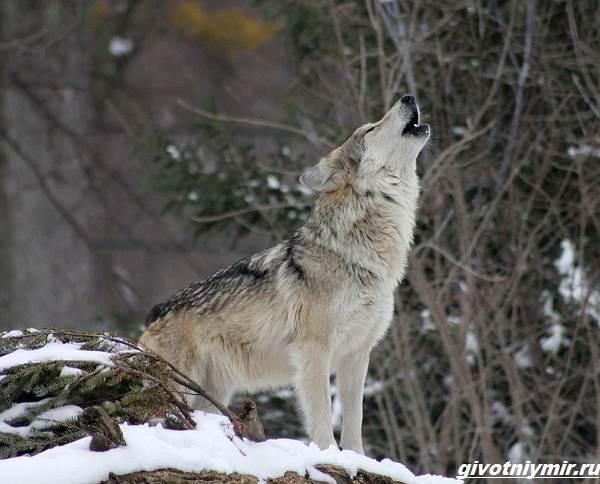 Охота-на-волка-разными-способами-3