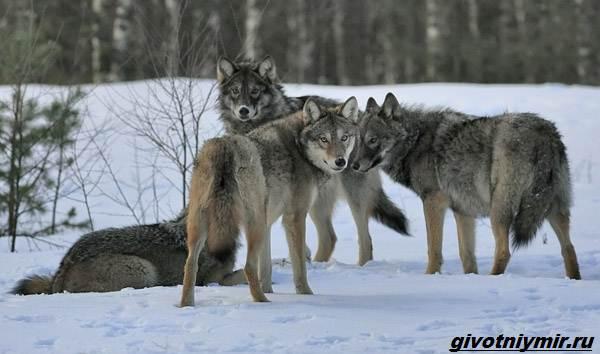 Охота-на-волка-разными-способами-6