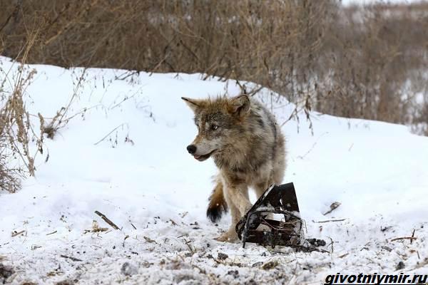 Охота-на-волка-разными-способами-8