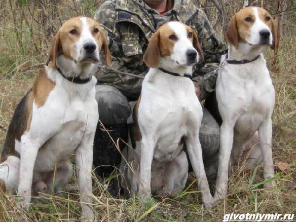 Охота-с-гончими-собаками-на-разных-зверей-1