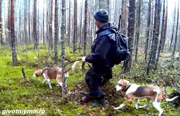 Охота-с-гончими-собаками-на-разных-зверей-2