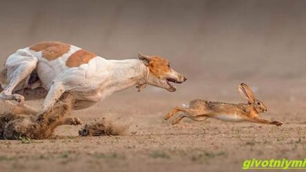 Охота с гончими собаками на разных зверей