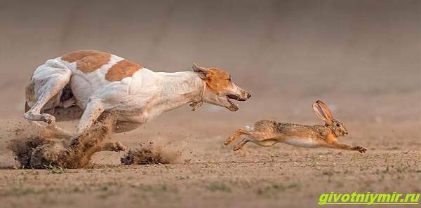 Охота-с-гончими-собаками-на-разных-зверей-4