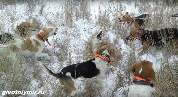 Охота-с-гончими-собаками-на-разных-зверей-5