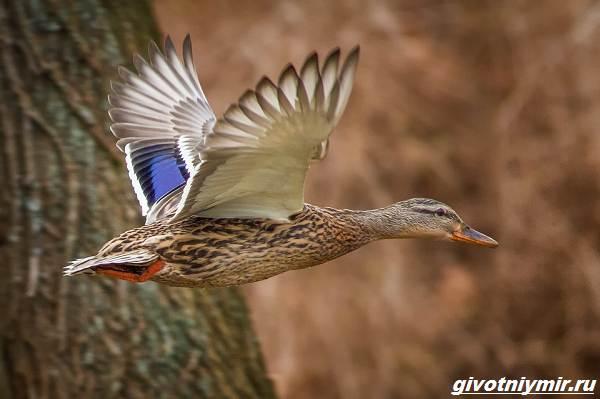 Охота-с-лайкой-на-разных-животных-и-птиц-6