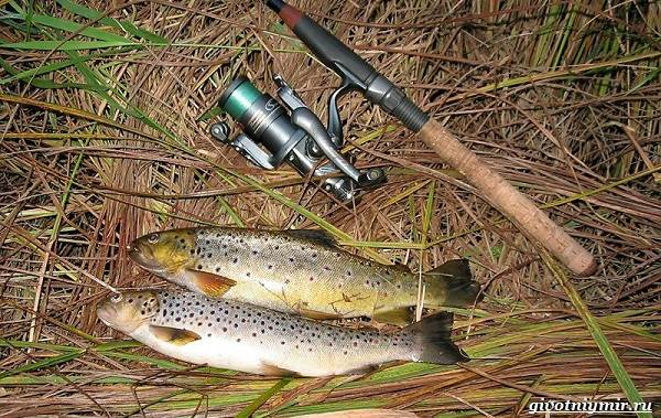 Рыбалка-на-форель-Где-когда-и-на-что-ловить-2