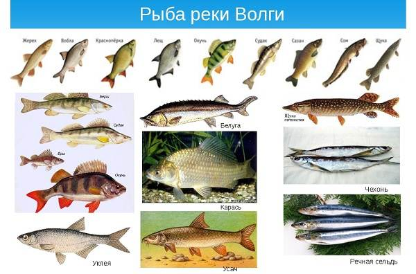 Рыбалка-на-Волге-её-особенности-плюсы-и-минусы-5