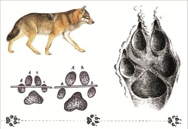Следы-животных-в-лесу-и-их-особенности-1