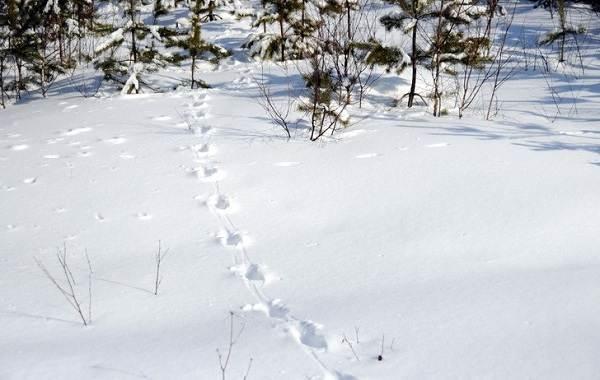 Следы-животных-в-лесу-и-их-особенности-10