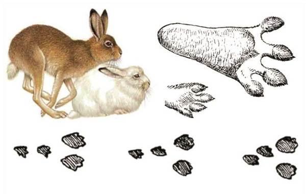 Следы-животных-в-лесу-и-их-особенности-12