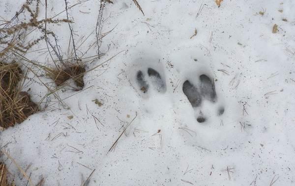 Следы-животных-в-лесу-и-их-особенности-13