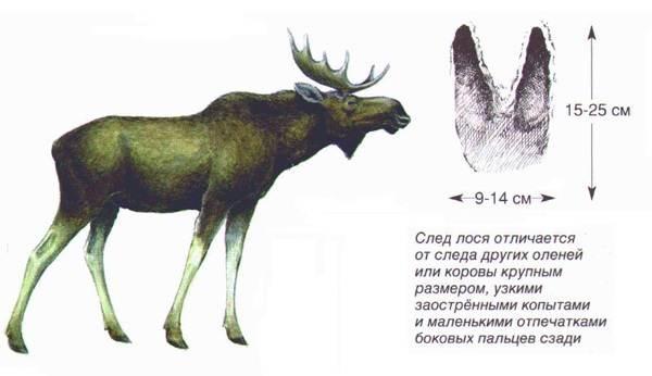 Следы-животных-в-лесу-и-их-особенности-15