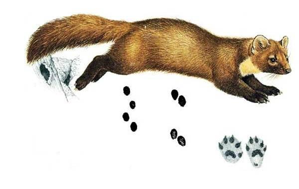 Следы-животных-в-лесу-и-их-особенности-17