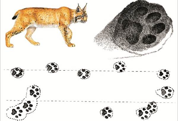 Следы-животных-в-лесу-и-их-особенности-18