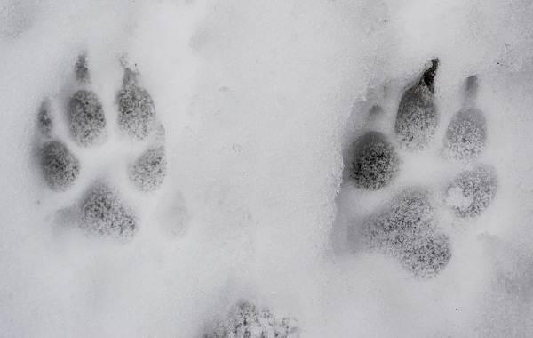 Следы-животных-в-лесу-и-их-особенности-2