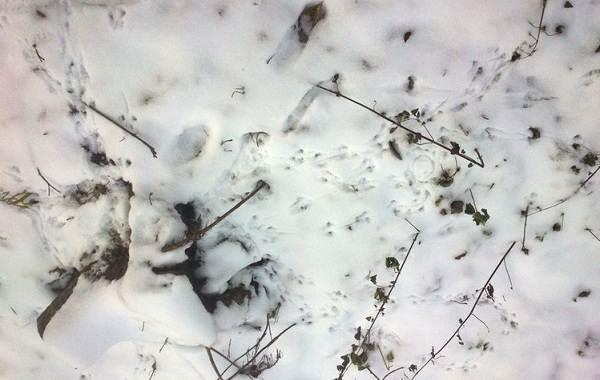 Следы-животных-в-лесу-и-их-особенности-23