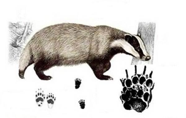 Следы-животных-в-лесу-и-их-особенности-24