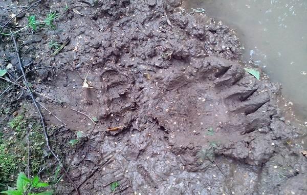 Следы-животных-в-лесу-и-их-особенности-25