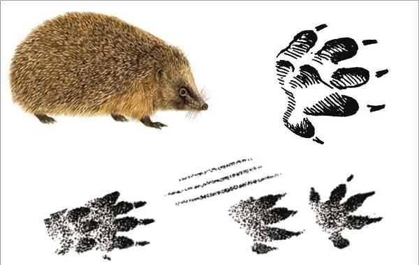 Следы-животных-в-лесу-и-их-особенности-26
