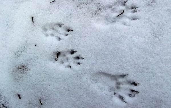 Следы-животных-в-лесу-и-их-особенности-28