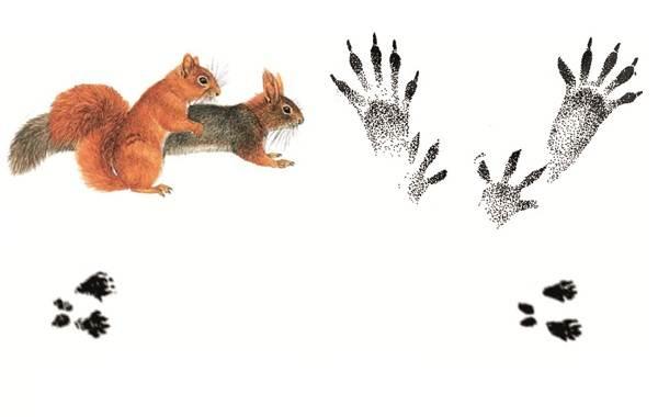 Следы-животных-в-лесу-и-их-особенности-32