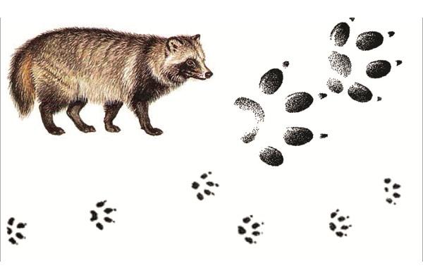 Следы-животных-в-лесу-и-их-особенности-33