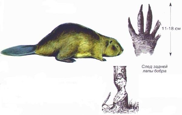 Следы-животных-в-лесу-и-их-особенности-34