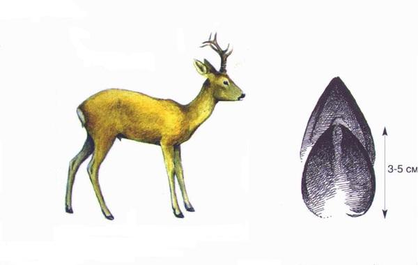 Следы-животных-в-лесу-и-их-особенности-35