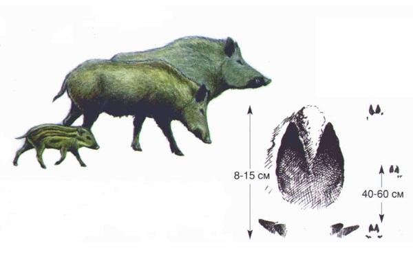 Следы-животных-в-лесу-и-их-особенности-36