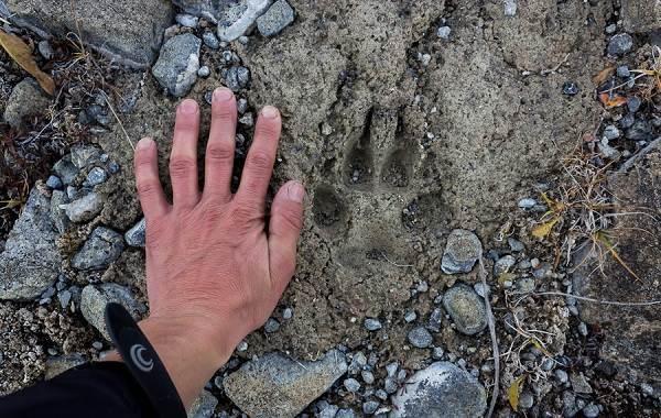 Следы-животных-в-лесу-и-их-особенности-4