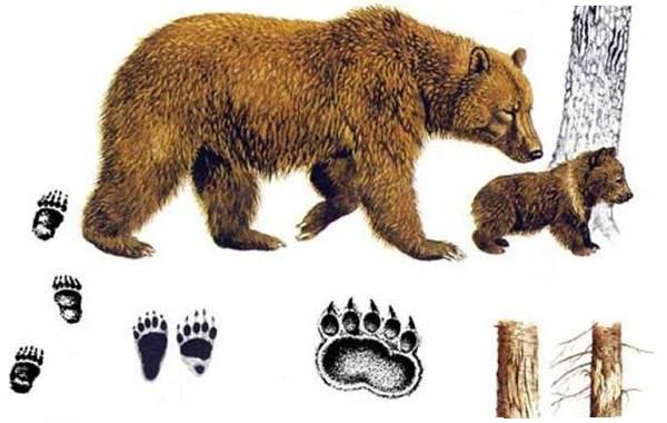 Следы-животных-в-лесу-и-их-особенности-5