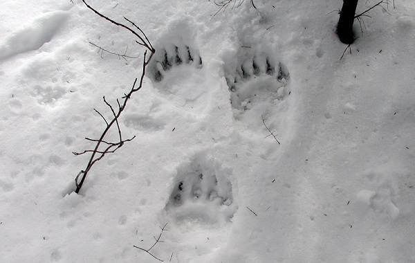 Следы-животных-в-лесу-и-их-особенности-6