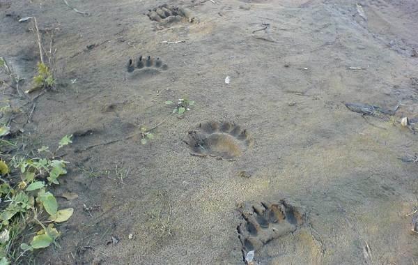 Следы-животных-в-лесу-и-их-особенности-7