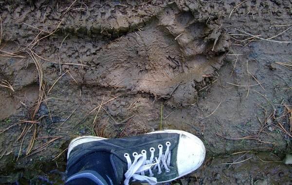 Следы-животных-в-лесу-и-их-особенности-8