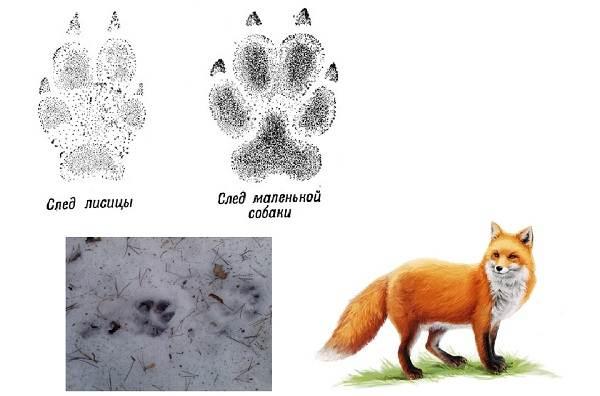 Следы-животных-в-лесу-и-их-особенности-9