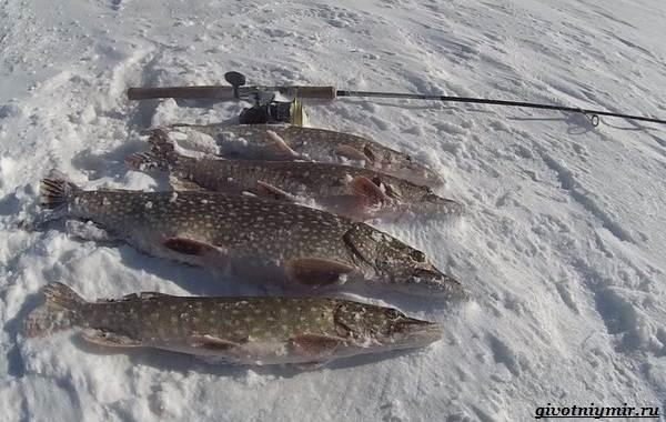 15-лучших-рыболовных-мест-в-Ульяновской-области-Бесплатные-и-платные-13