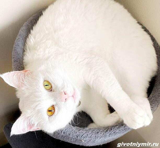 История-о-кошке-Айвори-с-невероятным-цветом-глаз-3