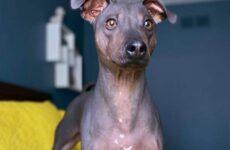 История о необычной бесшерстной собаке, которую многие считают больной