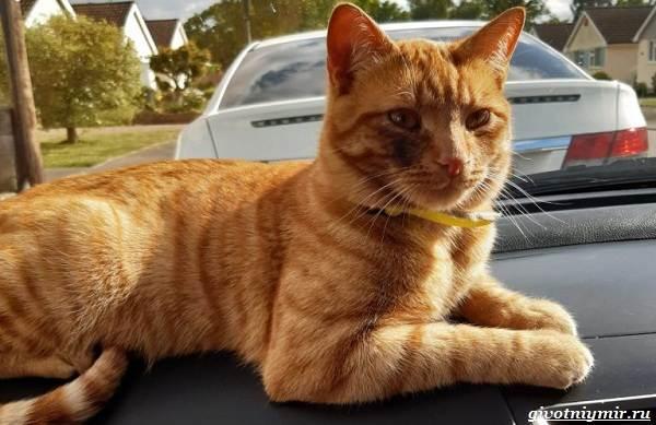 История-о-рыжем-коте-который-сбежал-от-хозяев-чтобы-вернуться-в-старый-дом-2