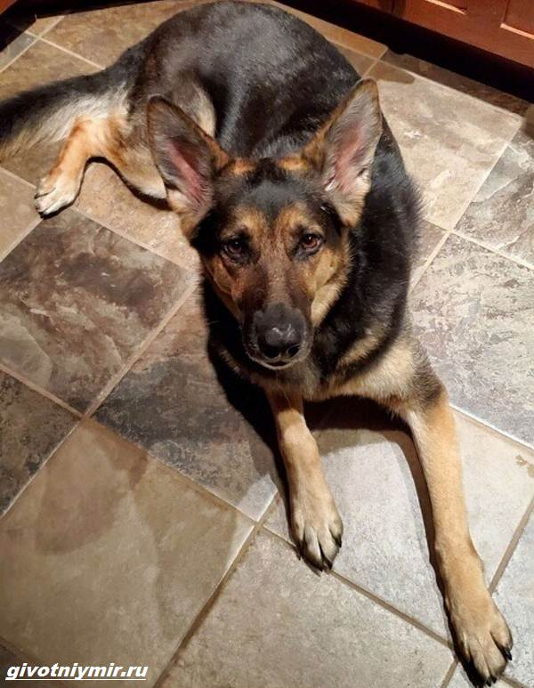 История-о-спасённой-собаке-которая-не-позволила-умереть-своему-хозяину-2