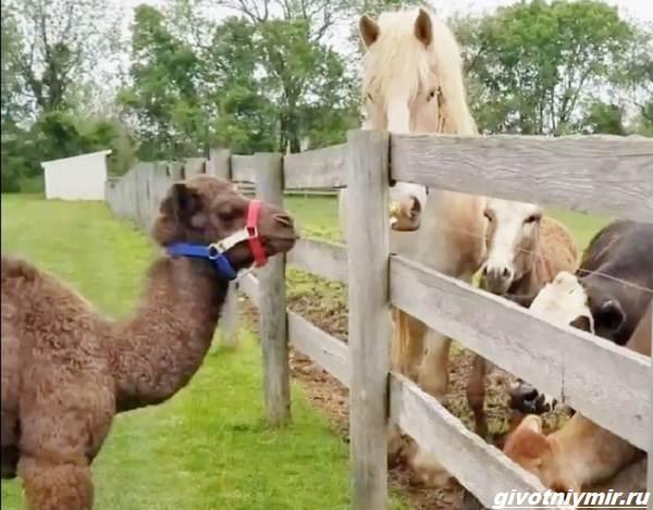 История-о-верблюжонке-который-отчаяно-искал-друга-и-нашёл-2