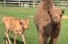 История о верблюжонке, который отчаянно искал друга и нашёл